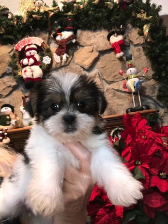 Sheba Female CKC Shorkipoo $1750 Ready 11/17 HAS DEPOSIT MY NEW HOME NEWNAN, GA 2.6 LBS 6W4D Old