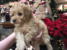 Snookums Male CKC Mini Labradoodle $2000 READY 11/17 SOLD MY NEW HOME FLEMING ISLAND, FL 2.6 Lbs 6W6D old
