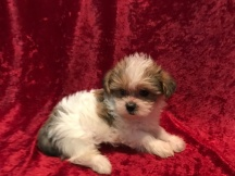 Snuggles Male CKC Shorkipoo $1750 Ready 11/17 SOLD MY NEW HOME ORANGE PARK, FL 1.15 LBS 6W5D Old