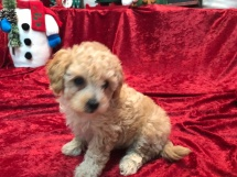 Amber Female CKC Mini Labradoodle $1750 Ready 11/12 SOLD MY NEW HOME NY 2.8 lbs 7W3D