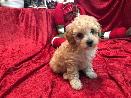 Amber Female CKC Mini Labradoodle $1750 Ready 11/12 MY NEW HOME NY 2.8 lbs 7W3D