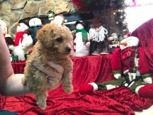 ANASTASIA Female CKC Mini Labradoodle $2000 Ready 11/12 SOLD MY NEW HOME JACKSONVILLE, FL 2.4 lbs 7W3D
