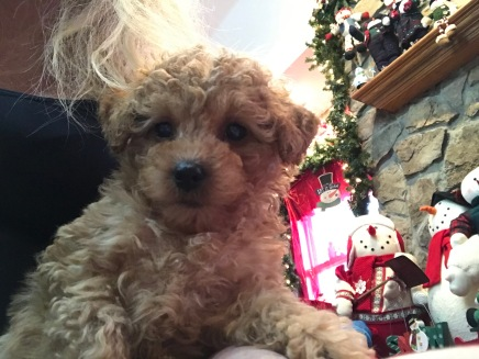 ANASTASIA Female CKC Mini Labradoodle $2000 Ready 11/12 SOLD MY NEW HOME JACKSONVILLE, FL 2.4 lbs z 7W3D