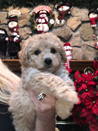 Auggie Male CKC Mini Labradoodle $1750 Ready 11/12 SOLD MY NEW HOME JACKSONVILLE, FL 1.10 lbs 7W3D