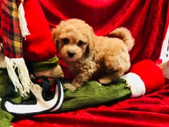 Axel Male CKC Mini Labradoodle $2000 Ready 11/12 SOLD MY NEW HOME JACKSONVILLE, FL 2.9 lbs 7W3D
