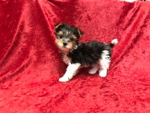 Denahi Male T-CUP Havashire $2000 Ready 11/11 SOLD MY NEW HOME JACKSONVILLE, FL 1.4 Lbs 7W4D Old