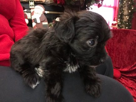 Doc Male CKC T-Cup Yorkipoo $1750 Ready 11/25 SOLD MY NEW HOME ST AUGUSTINE, FL 1.1 LBS 5W5D