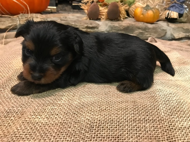 Duke Male CKC Morkie $1750 Ready 11/25 AVAILABLE 1.9 Lbs 3W2D Old