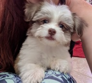 Gabriel Male CKC Havanese $1750 Ready 10/12 BUT WAIT PUPPY SPECIAL SOLD MY NEW HOME PONTE VEDRA, FL $1500 1.11 Lbs
