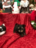 Kenai Male T-CUP Havashire $2000 Ready 11/11 SOLD MY NEW HOME JACKSONVILLE, FL 1.4 Lbs 7W4D Old