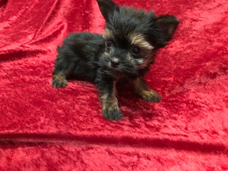 Koda Male T-CUP Havashire $2000 Ready 11/11 SOLD MY NEW HOME JACKSONVILLE, FL 1.1 Lbs 7W4D Old