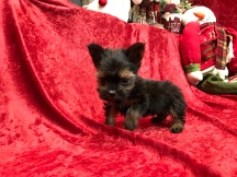 Koda Male T-CUP Havashire $2000 Ready 11/11SOLD MY NEW HOME JACKSONVILLE, FL 1.1 Lbs 7W4D Old