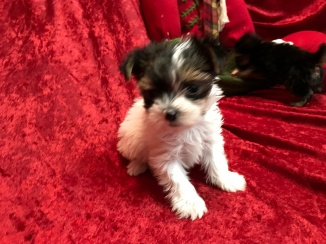 Rutt Male T-CUP Havashire $2000 Ready 11/11 SOLD MY NEW HOME JACKSONVILLE, FL 1.2 Lbs 7W4D Old