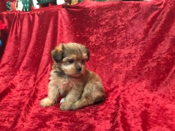 Sadie Female CKC Shorkipoo $1750 Ready 11/17 HAS DEPOSIT MY NEW HOME SANFORD, FL 1.14 LBS 6W5D Old
