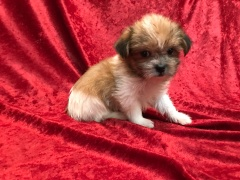 Safari Female CKC Shorkipoo $1750 Ready 11/17 SOLD MY NEW HOME BARTOW, FL 1.8 LBS 6W5D old