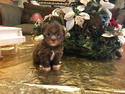 Smores Male CKC Havapoo $2000 Ready 1/24 SOLD MY NEW HOME PEACHTREE CITY, GA 1.3 lbs 6 weeks old