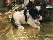 Sasha Female CKC Shorkipoo $1750 Ready 1/15 SOLD MY NEW HOME JACKSONVILLE, FL 1.8 lbs 6W4D Old!