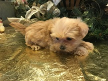 Selina Female CKC Shorkipoo $1750 Ready 1/15 SOLD MY NEW HOME ALBANY CA 1.8 lbs 6W4D Old