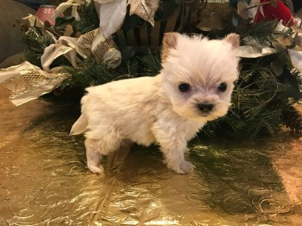 Dash Male CKC Morkie $1750 Ready 1/22 SOLD MY NEW HOME ORMOND BEACH, FL 12 oz 8 WEEKS OLD