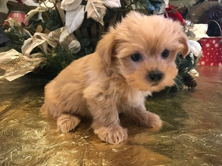 Georgia Female CKC Shorkie $1750 Ready 1/19 SOLD! MY NEW HOME JACKSONVILLE, FL 1.15 lbs 6W5D