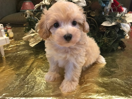 Jake Male CKC Maltipoo $1750 Ready 1/10 SOLD 2.10 lbs 7W1D