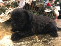 Shadow Male CKC Shorkipoo $1750 Ready 1/15 SOLD MY NEW HOME ST AUG, FL 2.6 lbs 6W4D Old