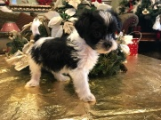 Sassy Female CKC Shorkipoo $1750 Ready 1/15 SOLD MY NEW HOME NEPTUNE BEACH, FL 2.7 lbs 6W4D Old