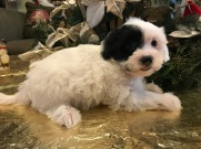 Scooter Male CKC Shorkipoo $1750 Ready 1/15 SOLD MY NEW HOME SACRAMENTO, CA 2.12 lbs 6W4D Old