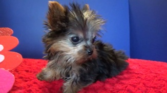 Fire Cracker Male CKC T-Cup Yorkie $2000 Ready 12/30 SOLD MY NEW HOME JACKSONVILLE, FL 1 LB 12w3day old