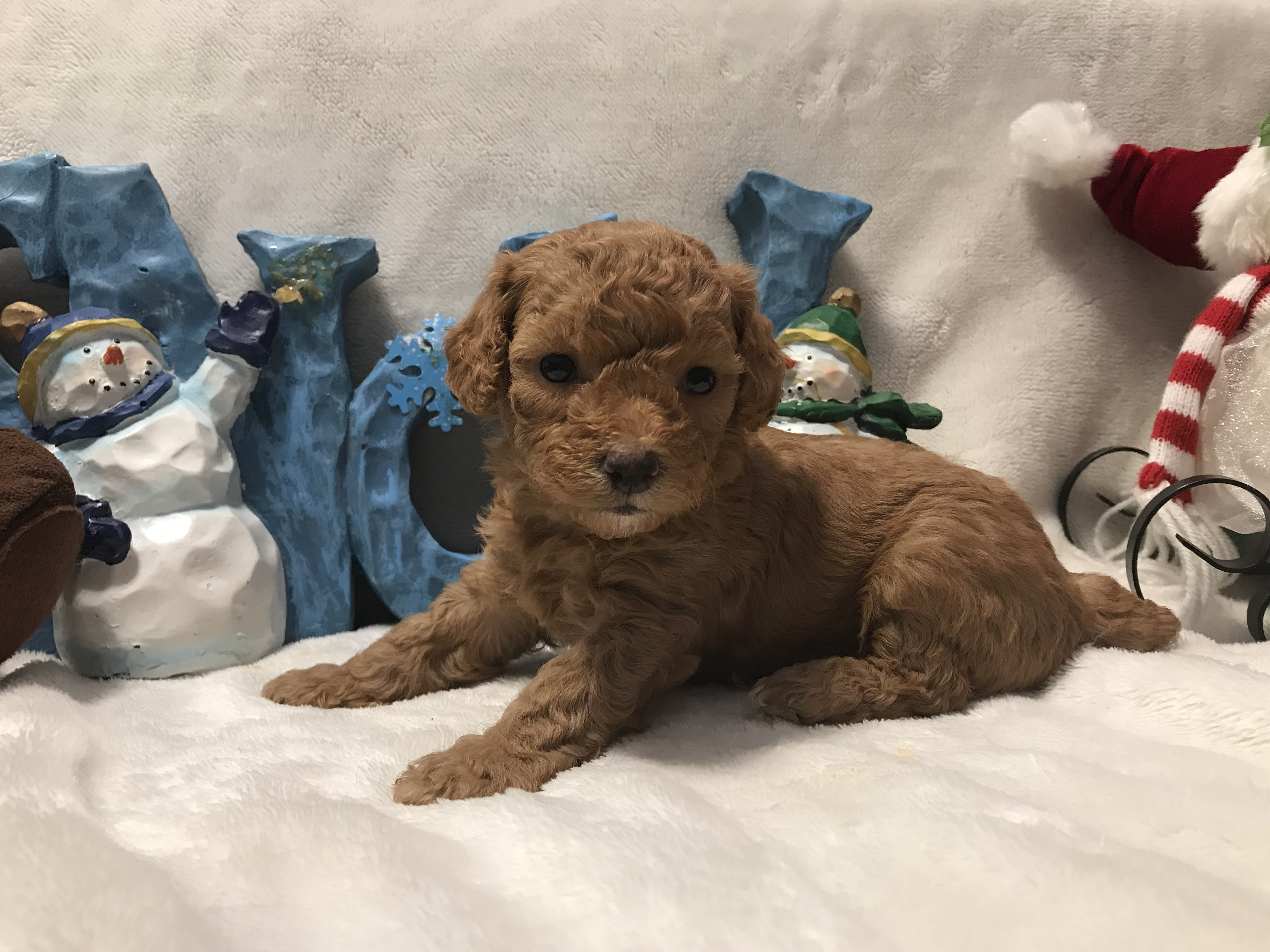 Sold Baby Spice Gorgeous Apricot Female Ckc Maltipoo Puppy Tlc Puppy Love
