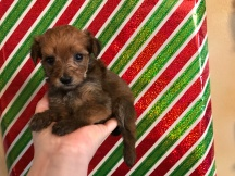 Bubbles Female CKC T-Cup Yorkipoo $1750 Ready 12/30 HAS DEPOSIT MY NEW HOME HOBOKEN, NJ 1 lb 4W3D Old