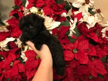 Bud Male CKC Morkie $1750 Ready 12/11 SOLD MY NEW JACKSONVILLE, FL 1.10 Lbs 7W1D OLD