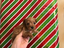 Champagne Female CKC T-Cup Yorkipoo $2000 Ready 12/30 SOLD MY NEW HOME ATLANTA, GA 11 oz 4Weeks old