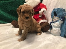 Ginger Female CKC Maltipoo $1750 Ready 12/3 SOLD 1.15 LBS 4W1D Old