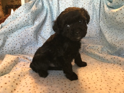 Loki Male CKC Mini Labradoodle $1750 Ready 2/2 HAS DEPOSIT MY NEW HOME PONTE VEDRA BEACH, FL 1.7lb 6wk old