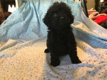 Luca Male C KC Mini Labradoodle $1750 Ready 2/2 SOLDMY NEW HOME JACKSONVILLE, FL 2lb 6wk old