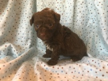 Chile Pepper Male CKC Havapoo $1750 Ready 2/2 HAS DEPOSIT MY NEW HOME GAINESVILLE, FL 1.2 Lbs 4W4D Old
