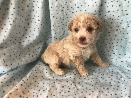 Salty Male CKC Havapoo $1750 Ready 2/2 SOLD MY NEW HOME SANFORD, FL 1.4 Lbs 4W4D Old