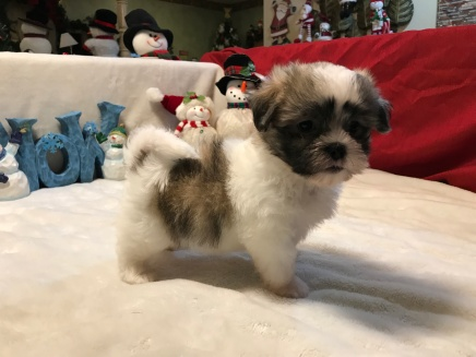 Sneezy Male CKC Malshi $1750 READY 12/11 SOLD MY NEW HOME TALLAHASSE, FL 2.6 lbs7 Weeks OLD