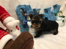 Confetti Female CKC T-Cup Yorkie $2000 Ready 12/30 SOLD MY NEW HOME GROVELAND, FL 11 oz 11 Day Old