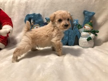 Happy Male CKC T-Cup Yorkipoo $1750 Ready 12/30 HAS DEPOSIT MY NEW HOME PALM COAST, FL 15 oz 4W2D Old