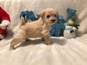 Happy Male CKC T-Cup Yorkipoo $1750 Ready 12/30 SOLD MY NEW HOME PALM COAST, FL 15 oz 4W2D Old