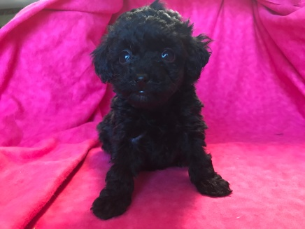 Lily Female CKC Mini Labradoodle $1750 Ready 2/2 HAS DEPOSIT MY NEW HOME JACKSONVILLE, FL 1.5lb 6wk old