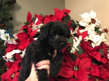 Mudbud Male CKC Morkie $1750 Ready 12/11 SOLD MY NEW HOME MIAMI, FL 2 lbs 7W1D