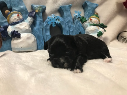 Putt Putt Male CKC Shihpoo $1750 Ready 1/19 AVAILABLE 14 oz 3 weeks old