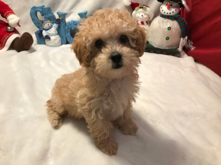 Smouchie Female CKC Mini Labradoodle $2000 READY 11/17 JUST BECAMSmouchie Female CKC Mini Labradoodle $2000 READY 11/17 SOLD! 2.1 Lbs 10w2d old E AVAILABLE AGAIN! 3.9 Lbs 10W2D Old