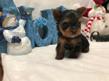 Sparkler Male CKC T-Cup Yorkie $2000 Ready 12/30 SOLD MY NEW HOME SEBASTIN, FL 11 oz 4W2D Old