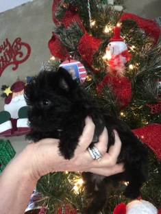 Dawg Male CKC Morkie $1750 Ready 12/11 SOLD MY NEW HOME JACKSONVILLE, FL 15 oz 7W1D