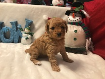 Ginger Female CKC Maltipoo $1750 Ready 12/31 SOLD 1.15 LBS 4W1D Old