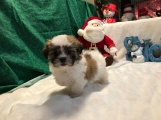 Happy Male CKC Malshi $1750 READY 12/11 SOLD MY NEW HOME OVIEDO, FL 2.1lbs7 weeks OLD